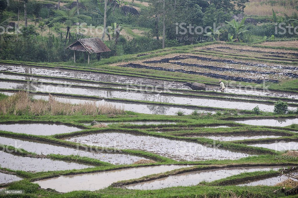 Terraced Ricefield with farmer (unregcognizable) royalty-free stock photo