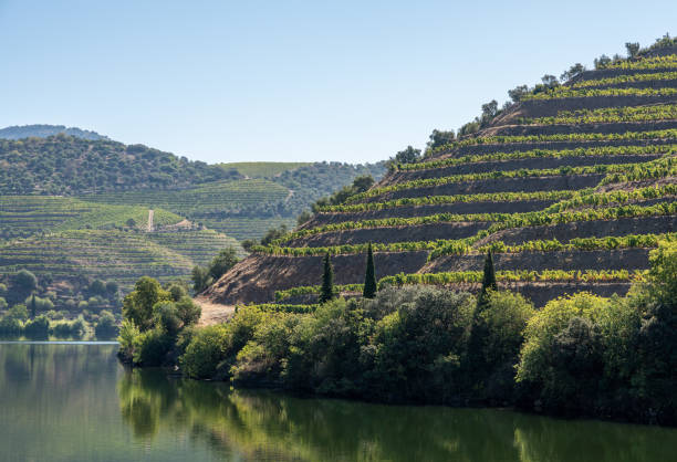 Terraced rows of vines in vineyards by river Duoro in Portugal stock photo