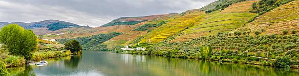vinhas com terraço e olivais ao longo do rio douro. - douro imagens e fotografias de stock