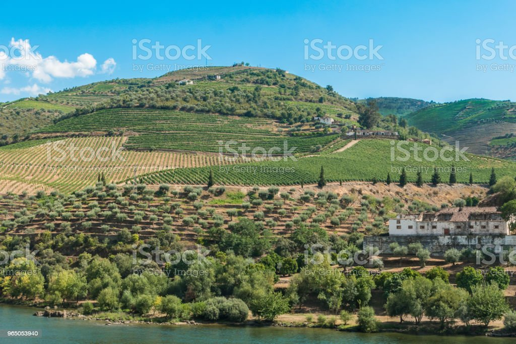 Terraced vineyards in Douro Valley Alto Douro Wine Region in northern Portugal officially designated by UNESCO as World Heritage Site royalty-free stock photo