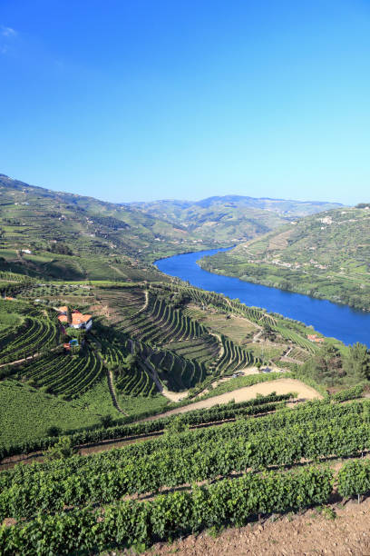 Terraced vineyards on banks of River Douro Terraced vineyards on banks of River Douro in Portugal duero stock pictures, royalty-free photos & images