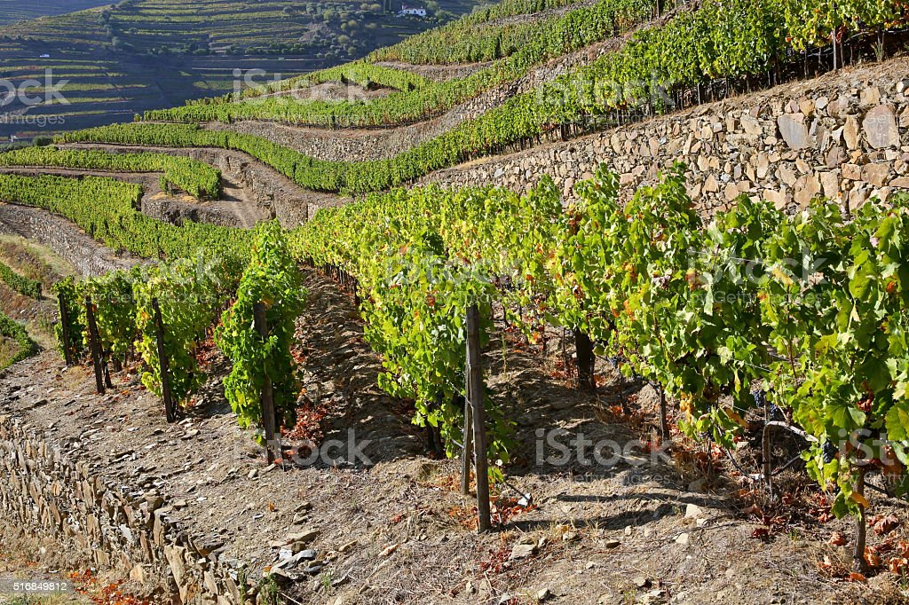 Terraced vineyards stock photo