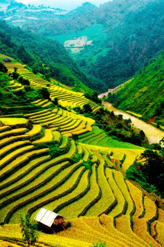 Terraces Of Rice Field In Northwest Vietnam Stock Photo - Download Image Now