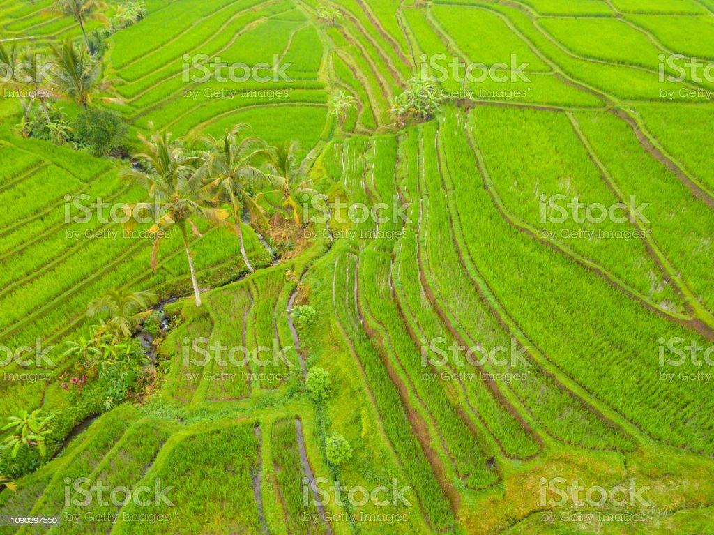 Terrazas De Arrozales Y Palmeras Vista Aérea Foto De Stock Y