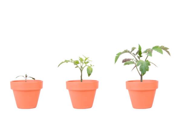 terrakotta planters mit tomaten-pflanzen - blumentopf groß stock-fotos und bilder