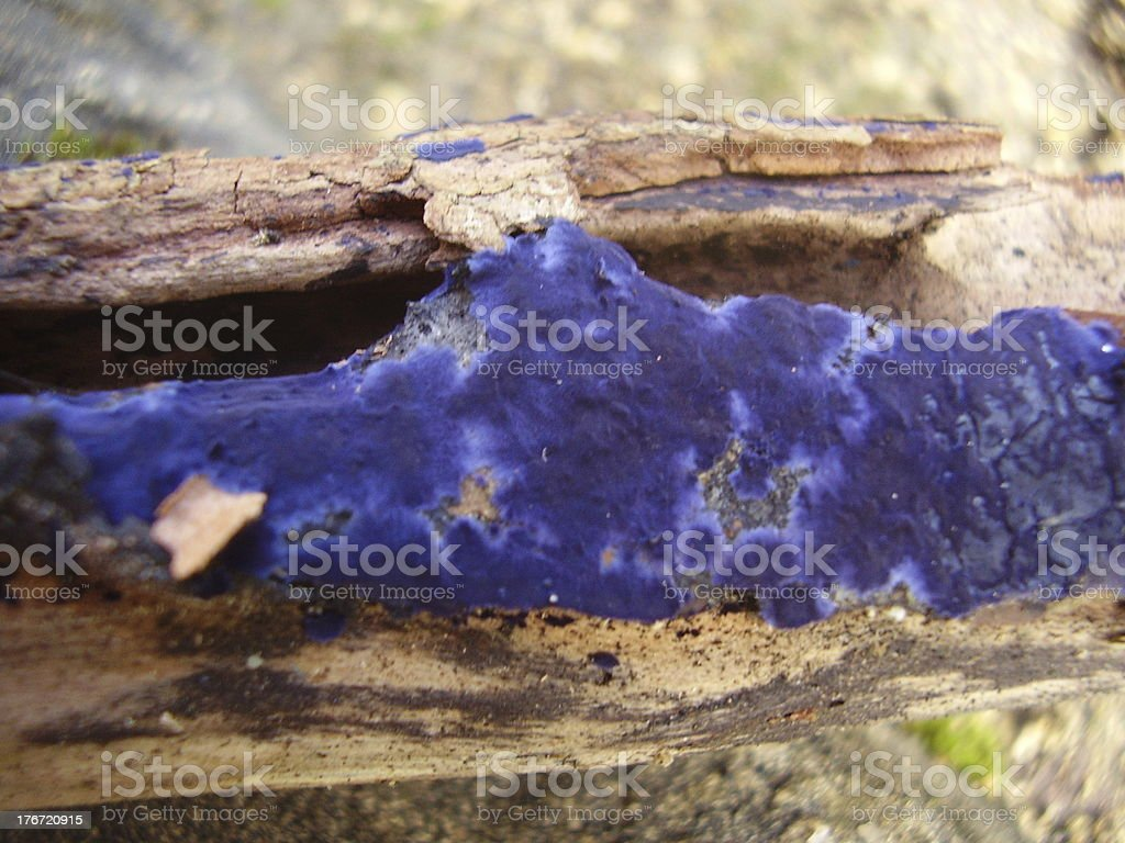 Terrana Caerulea (Cobalt Crust) royalty-free stock photo