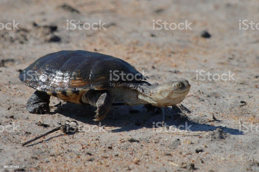 Terrapin on the Sand in South Africa zbiór zdjęć royalty-free