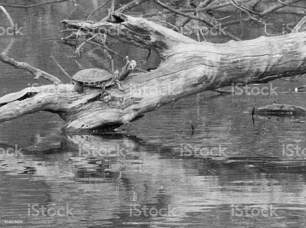 Terrapin resting on a log stock photo