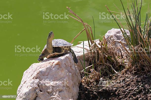 Terrapin turtle portrait picture id488497912?b=1&k=6&m=488497912&s=612x612&h=8gxd c1q n4zehdmzv2 gmmvp5uzlt1txdmdlc  2xi=