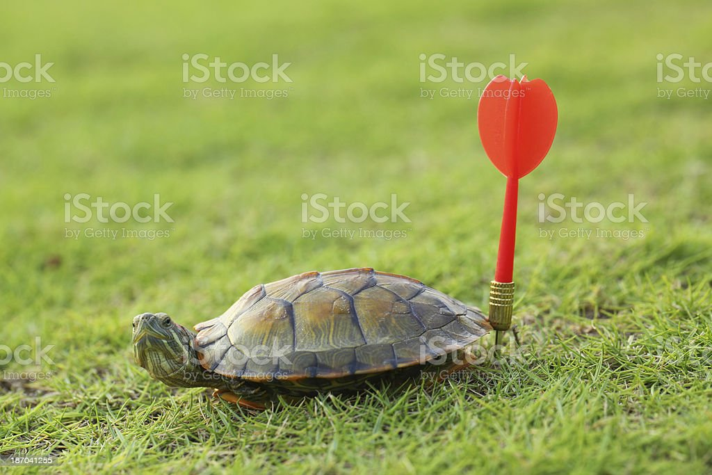 Terrapin Turtle with Red Dart royalty-free stock photo