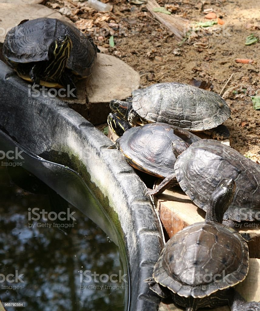 Terrapin turtles beside  a pond - Royalty-free 2015 Stock Photo