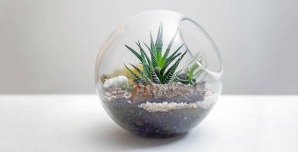 terrarium auf tisch vor grauem hintergrund isoliert - terrarienpflanzen stock-fotos und bilder