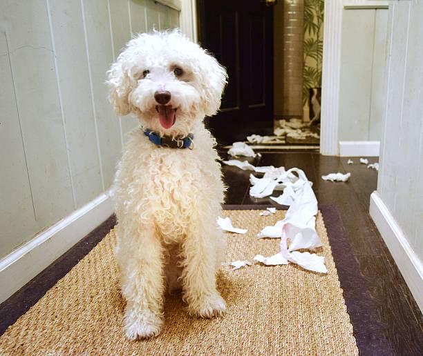 Terrible dog. stock photo