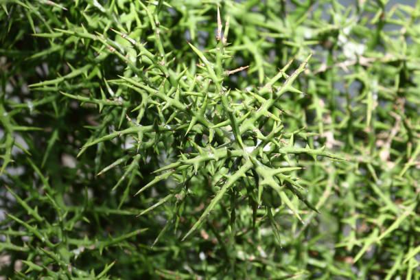 Terrible thorn plant stock photo