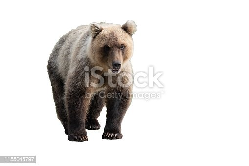 Terrible wild Kamchatka brown bear (Ursus arctos piscator) walking and looking. Isolated on white background, copy space.