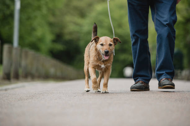 Terrier dog being walked by senior owner picture id1056327332?b=1&k=6&m=1056327332&s=612x612&w=0&h=cwxmfcml c2uisnx1v7o8kuj271dq2endn7uk4et3 s=
