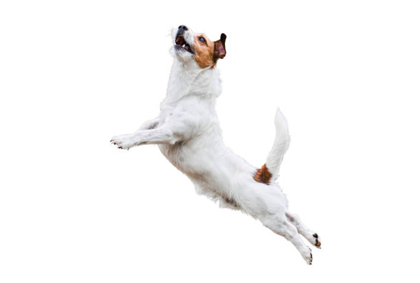 terrier dog isolated on white jumping and flying high - dog jumping stock photos and pictures