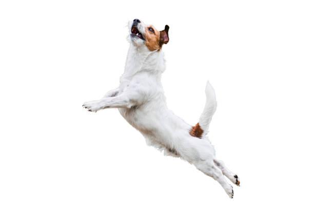 chien terrier isolé sur blanc sauter et voler haut - sauter photos et images de collection