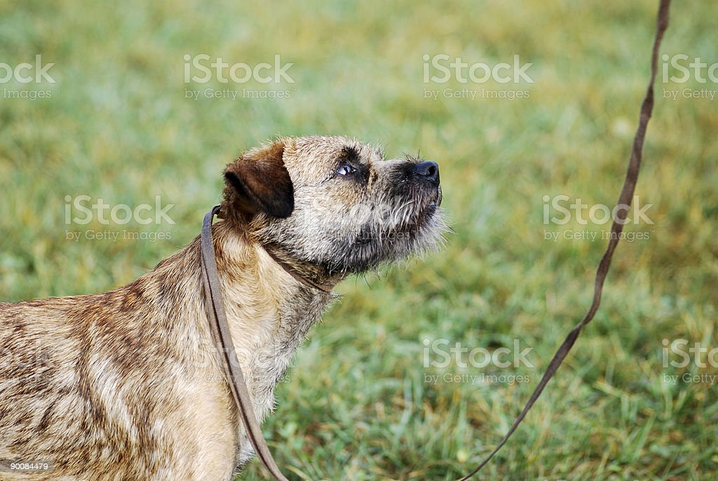 Terrier - Looking Up royalty-free stock photo