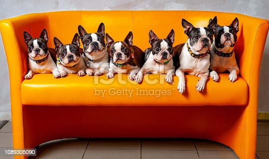 7 dogs sitting side by side on the sofa, Boston terrier