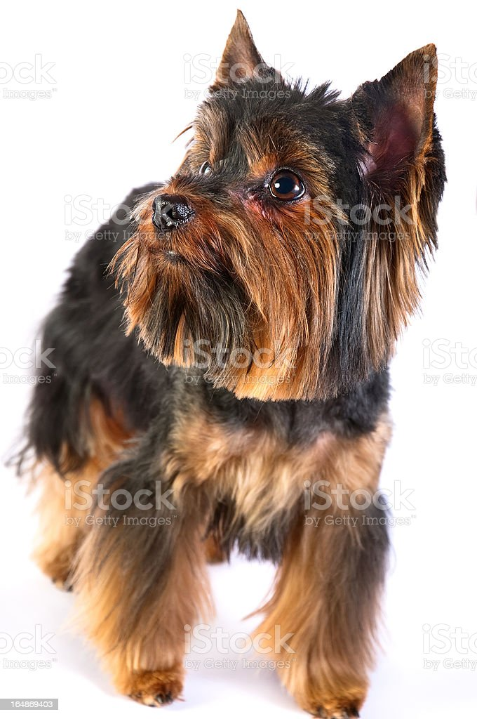 Terrier royalty-free stock photo
