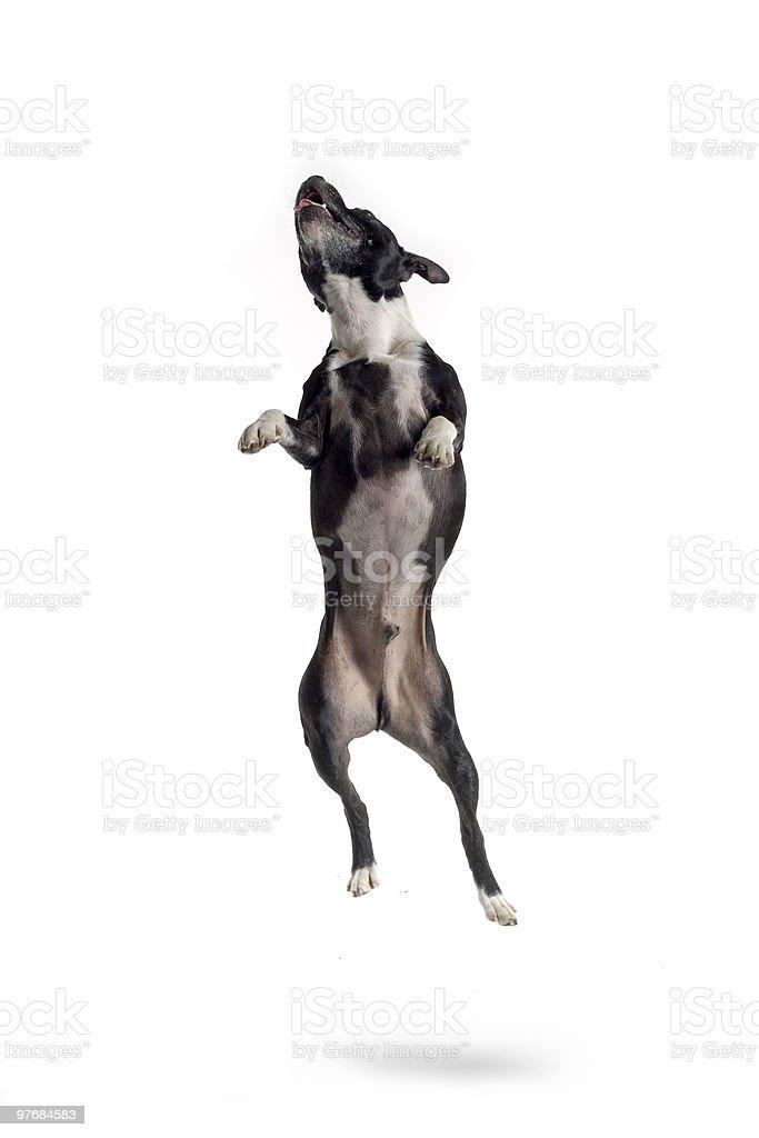 terrier - Photo