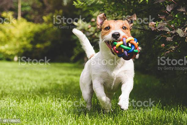 Terrier playing with a colourful ball picture id481198620?b=1&k=6&m=481198620&s=612x612&h=a vmqtce1pyp1dq7gloknrfjyjyb z ccikt9vh5ifo=