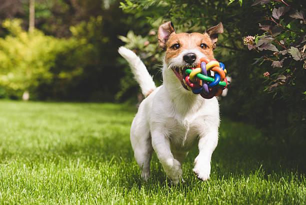 Terrier playing with a colourful ball picture id481198620?b=1&k=6&m=481198620&s=612x612&w=0&h=plvdryev2uwwqfsa1ysbvo0qyz7mxrxae3j061j2kis=