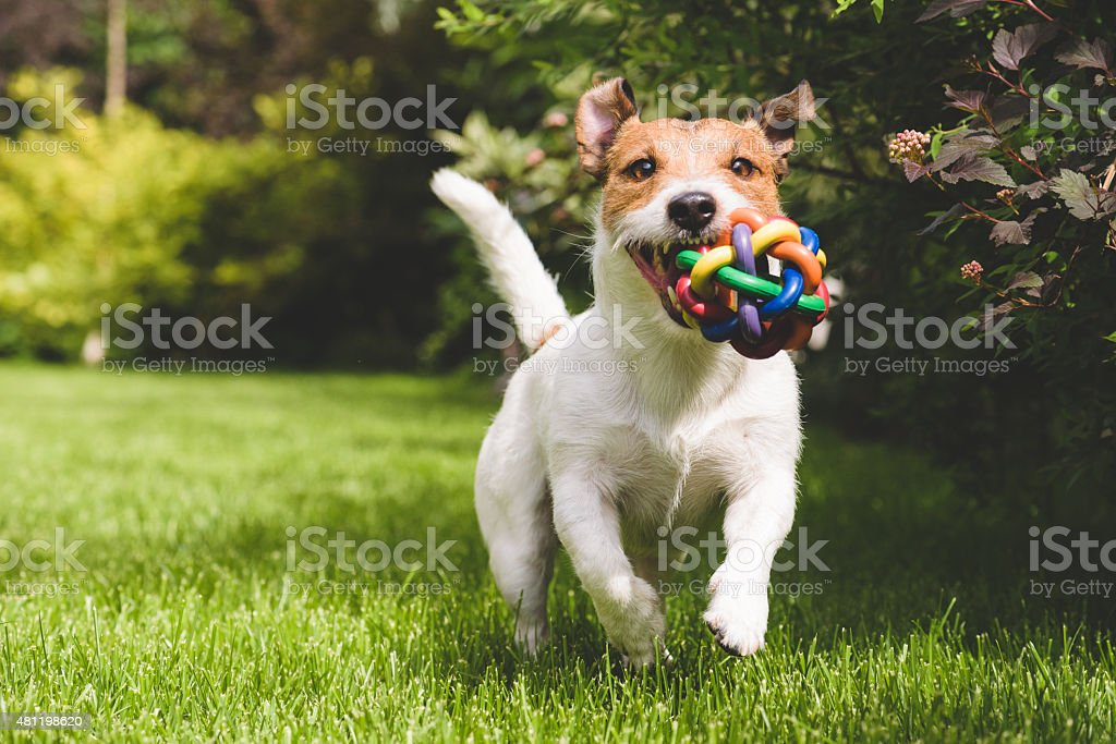 Terrier playing with a colourful ball stock photo