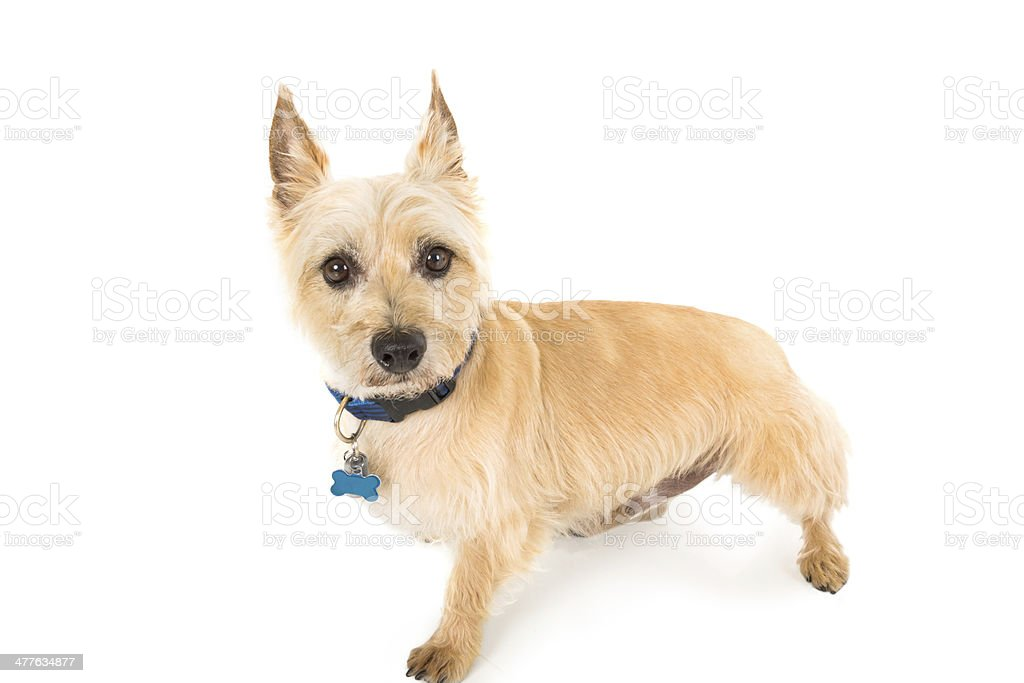 A terrier puppy looking at the camera in a studio shot royalty-free stock photo