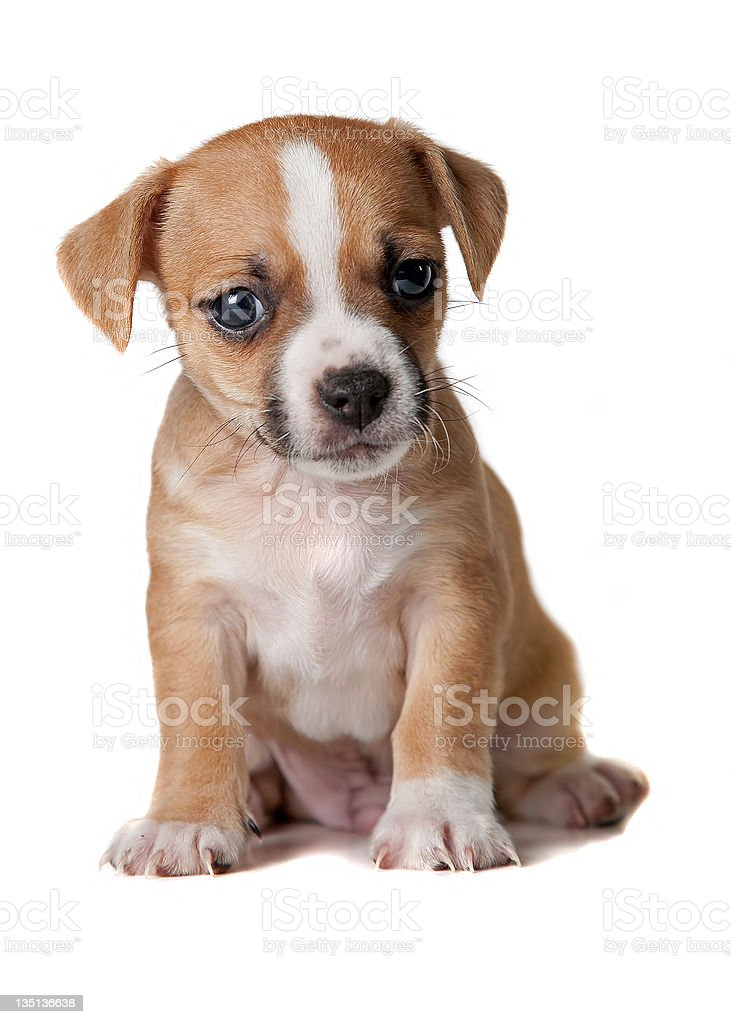 Terrier Puppy royalty-free stock photo
