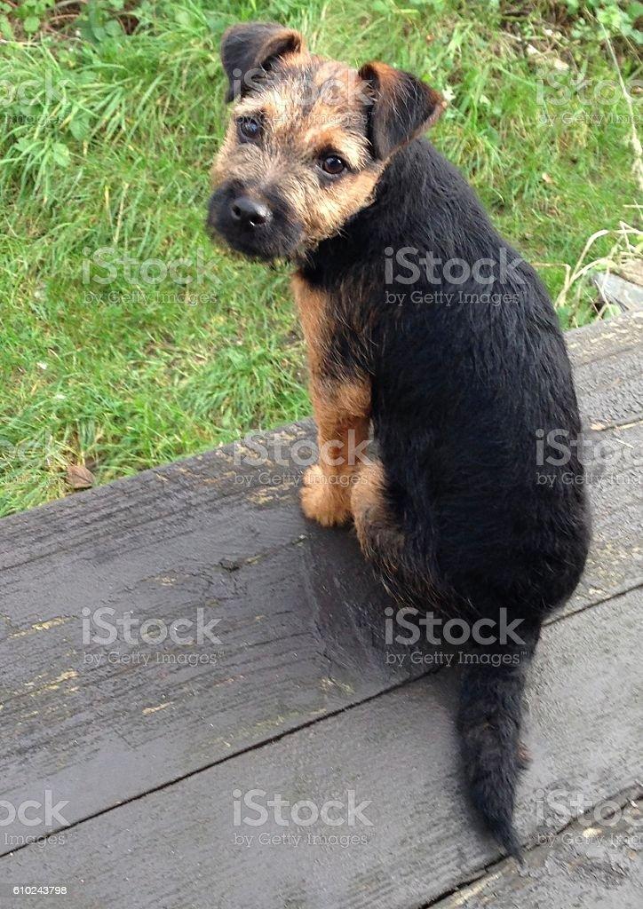 Terrier puppy sitting stock photo