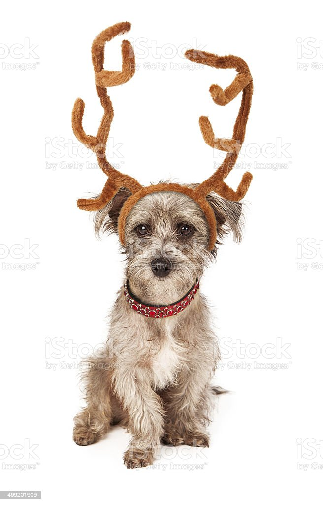 Terrier Puppy With Reindeer Antlers stock photo