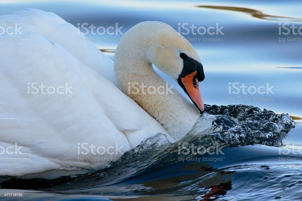Mute swan male cob is imposing lord of domain stock photo