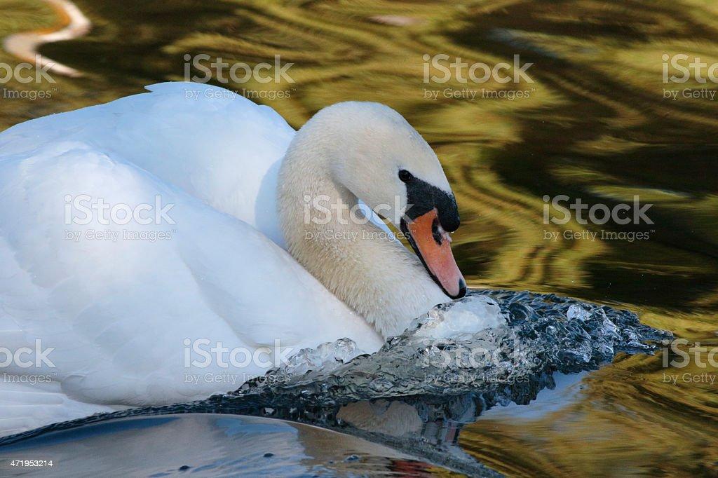 Mute Swan Male Cob In Aggressive Pose Stock Photo - Download