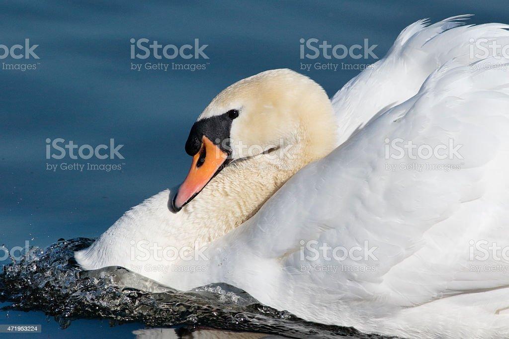 Mute Swan Male Cob Profile In Aggressive Pose Stock Photo