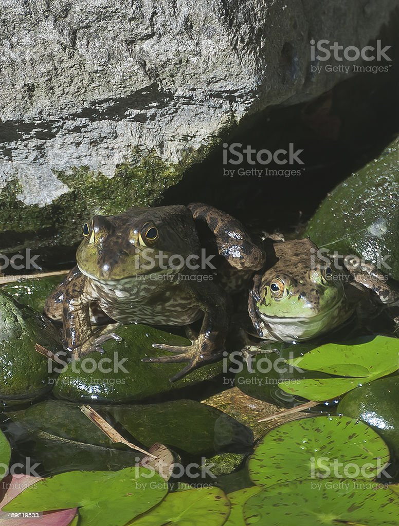Territorial Frog stock photo