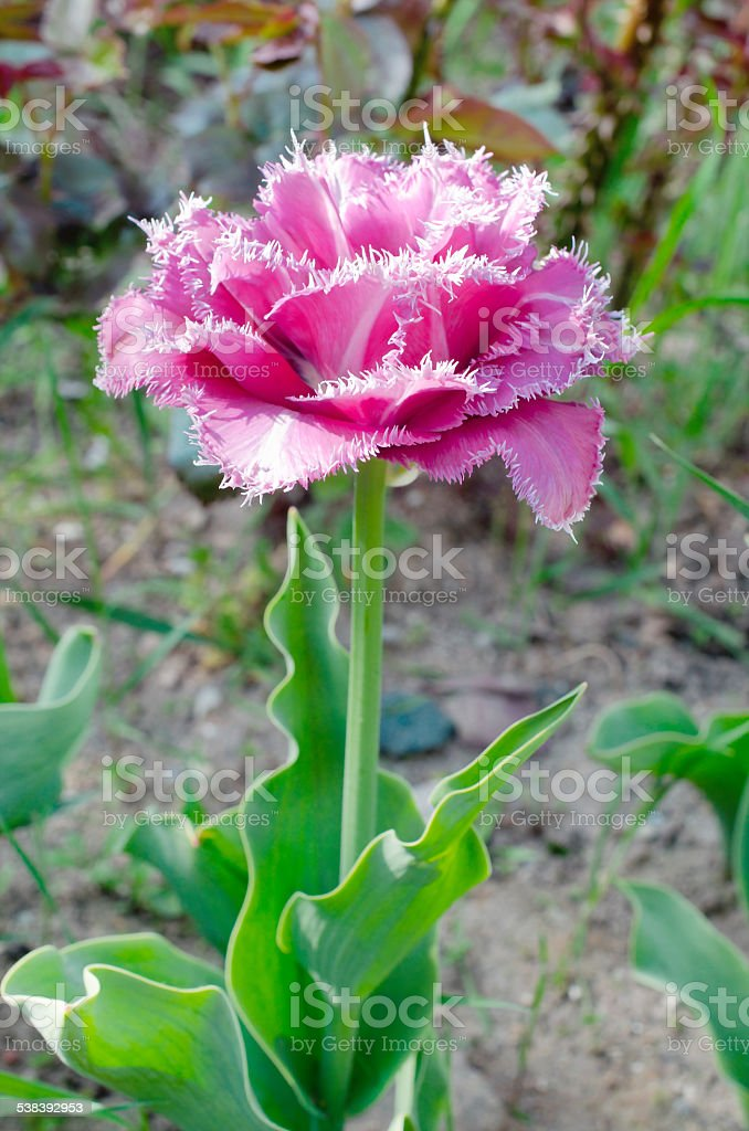 terry fringed tulip 'Matchpoint stock photo