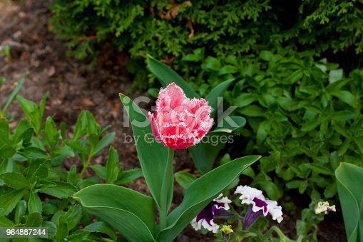 Terry Pink Tulip Growing In The Garden On Green Background Stock Photo & More Pictures of Blossom