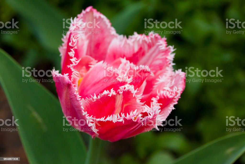 Terry pink tulip growing in the garden on green background royalty-free stock photo