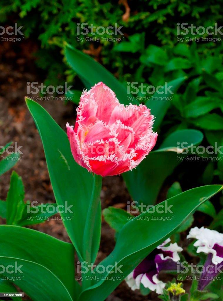 泰瑞粉紅色鬱金香生長在花園中的綠色背景 - 免版稅地勢景觀圖庫照片