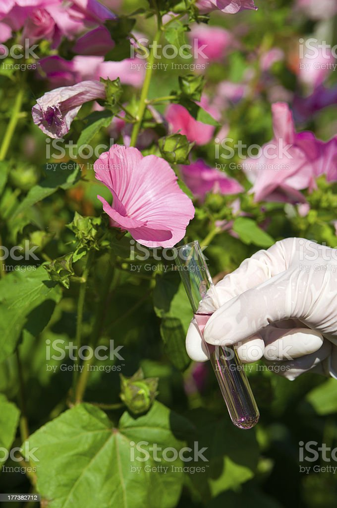 test tube with pink liquid and flower stock photo