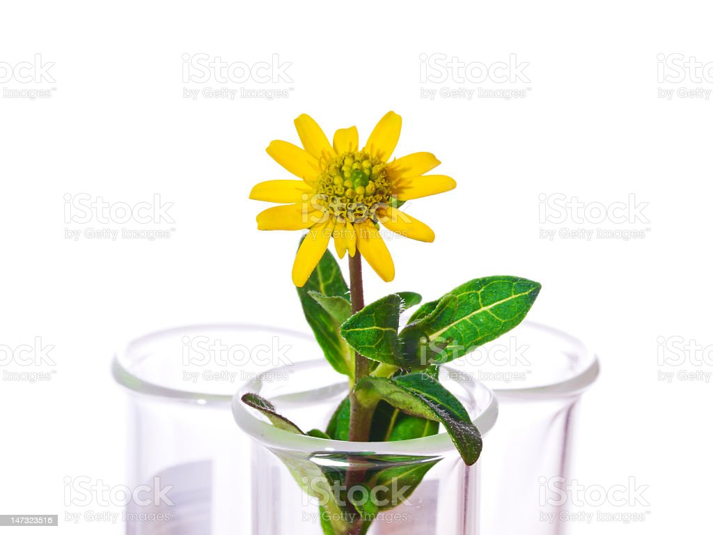 Test Tubes with small flowers ,Isolated on white. royalty-free stock photo