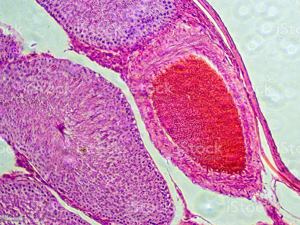 Testicle próbka tkanki widoczne na mikroskop zdjęcia stockowe