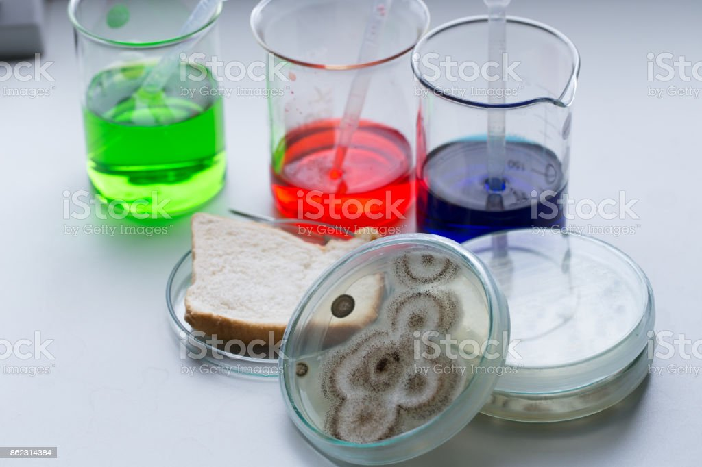 Testing Fungus from bread in Petri dishes and medicine for education...
