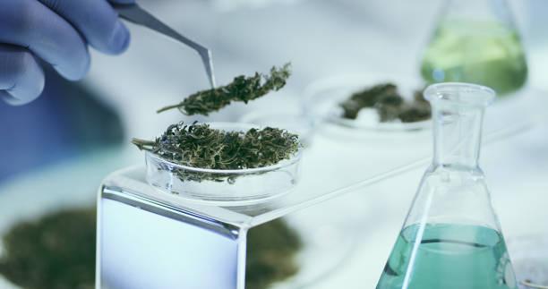 Testing Medical Marijuana in Laboratory. Close -up. stock photo