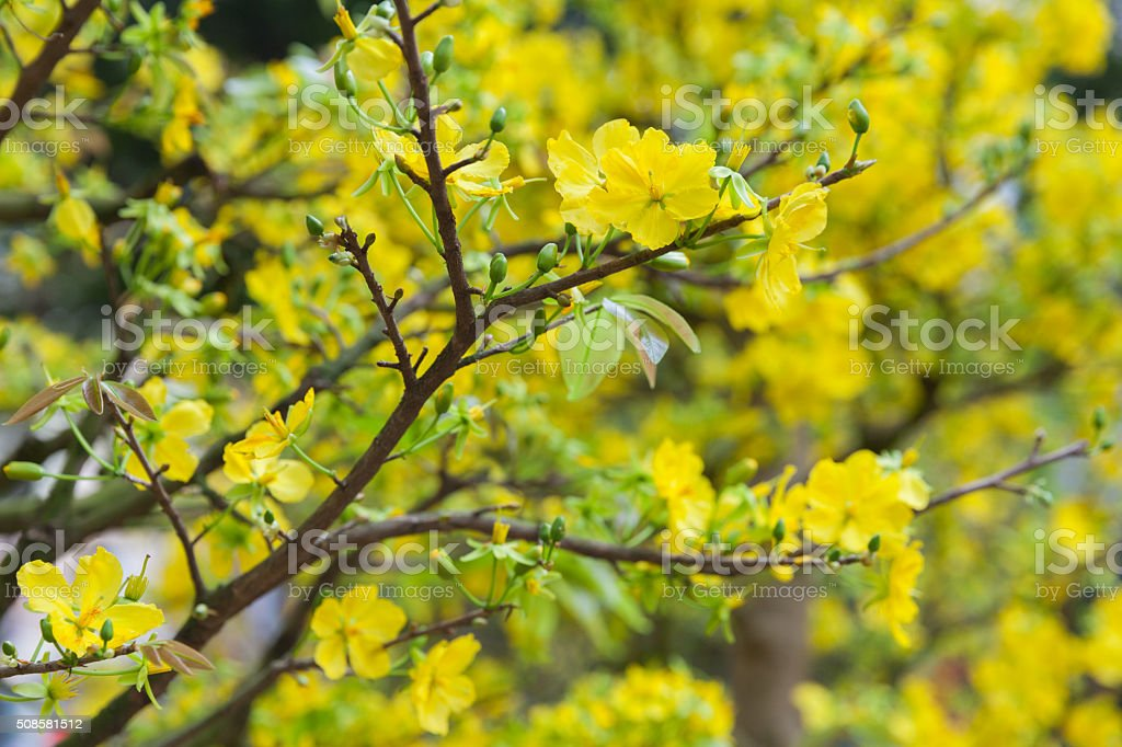 Tet Blossom Trees the symbols of Lunar New Year, Vietnam stock photo
