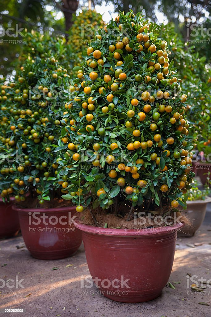Tet Kumquat Trees the symbols of Lunar New Year, Vietnam royalty-free stock photo