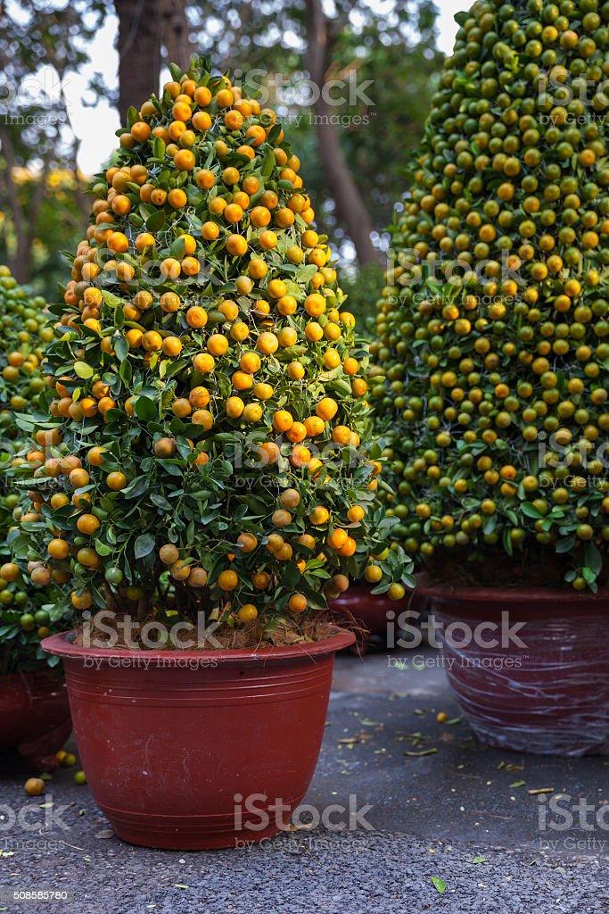 Tet Kumquat Trees the symbols of Lunar New Year, Vietnam stock photo