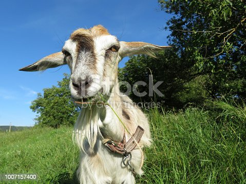 Goat on a leash eating grass on the pasture, looking into camera